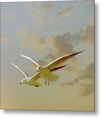 Two Mediterranean Gulls In Flight Metal Print
