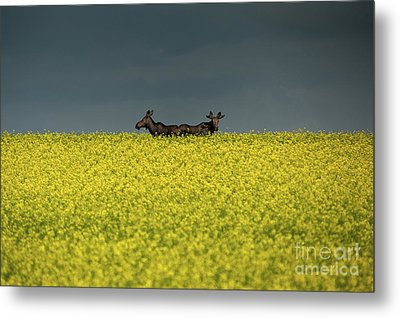 Two Moose Metal Print