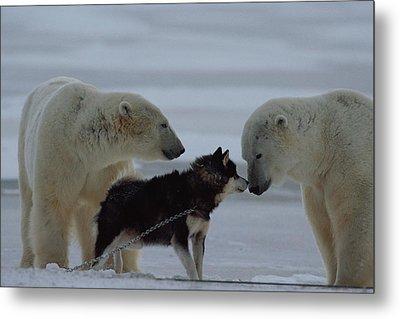Two Polar Bears Ursus Maritimus Metal Print by Norbert Rosing