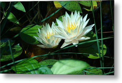 Metal Print featuring the photograph Two Waterlilies by Angela Annas