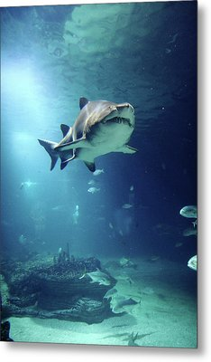 Underwater View Of Shark And Tropical Fish Metal Print by Rich Lewis