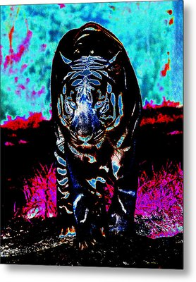 Metal Print featuring the photograph Unusual Tiger On The Prowl by Maggy Marsh