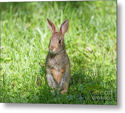 Metal Print featuring the photograph Upright Rabbit by Chris Scroggins