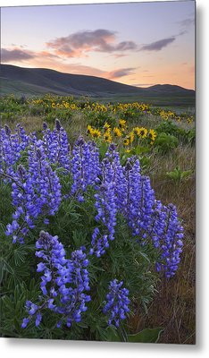 Usa, Washington, Dalles Mountain State Park, Landscape With Lupine Flower In Foreground Metal Print by Gary Weathers