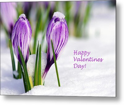 Valentines Day Crocuses Metal Print by Sharon Talson