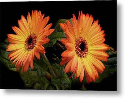 Metal Print featuring the photograph Vibrant Gerbera Daisies by Terence Davis