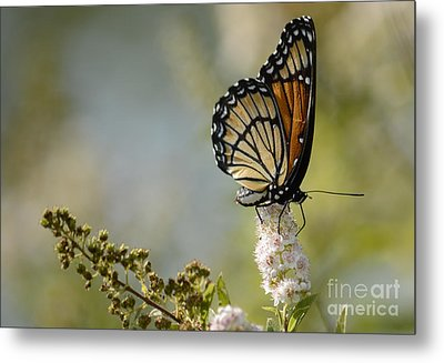 Viceroy Metal Print by Randy Bodkins