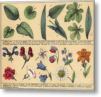 Vintage Botanical Print Showing Variety Of Leaves And Flowers Metal Print