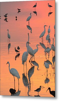 Wading Birds Forage In Colorful Sunset Metal Print by George Grall