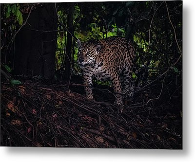 Metal Print featuring the photograph Wandering Jaguar by Wade Aiken