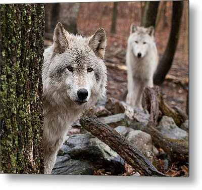 Wary Wolves Metal Print