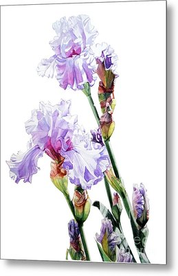 Watercolor Of A Tall Bearded Iris I Call Lilac Iris Wendi Metal Print