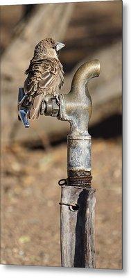 Weaver Bird Metal Print