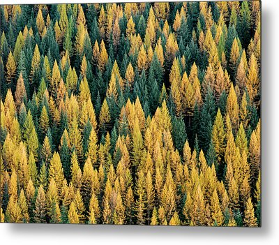 Western Larch Forest Metal Print by Leland D Howard