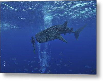 Whale Shark And Diver, Maldives Metal Print by Mathieu Meur