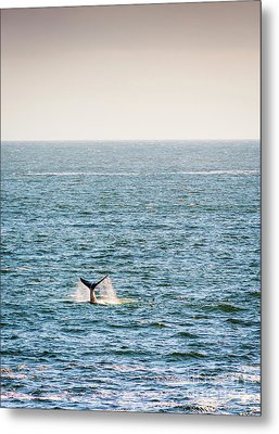 Whale Tail On Horizon Metal Print by Tim Hester