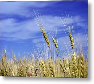 Wheat Trio Metal Print by Keith Armstrong