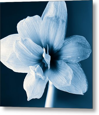 White Amaryllis Flower In Black And White In Blue Tones Metal Print by Andy Smy