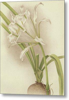White Amaryllis   Ismene Andreana Metal Print by English School