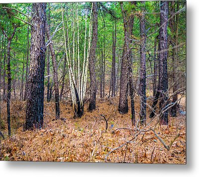 White Birches In The Forest Metal Print