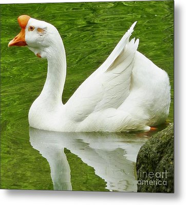 Metal Print featuring the photograph White Chinese Goose by Susan Garren