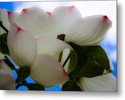 White Dogwood Flower Metal Print by David Patterson