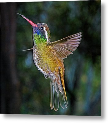 White Eared Hummingbird Metal Print
