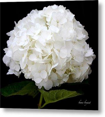 White Hydrangea Metal Print by Kume Bryant