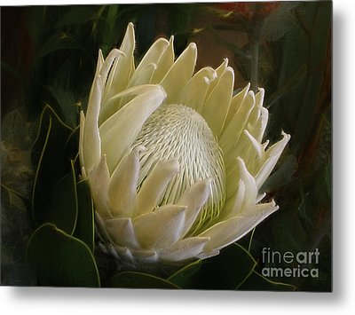 Metal Print featuring the photograph White King Protea By Kaye Menner by Kaye Menner