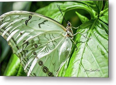White Morpho Butterfly Metal Print by Joann Copeland-Paul