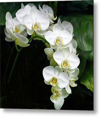 White Moth Orchid Array Metal Print by Byron Varvarigos