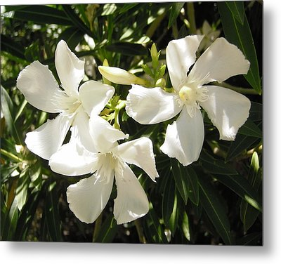 White Oleander Flowers Metal Print by Stephanie Moore