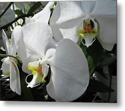 White Orchid Bloom Duo Metal Print