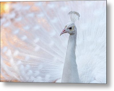 Metal Print featuring the photograph White Peacock by Sebastian Musial