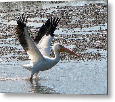 White Pelican Takes Wing Metal Print