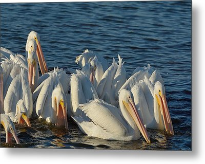 Metal Print featuring the photograph White Pelicans Flock Feeding by Bradford Martin