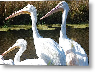 White Pelicans Metal Print by Heather Chaput