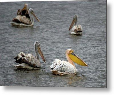 White Pelicans On Lake  Metal Print