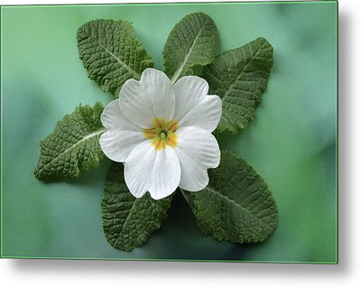 Metal Print featuring the photograph White Primrose by Terence Davis