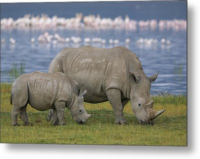 White Rhino Mother And Calf Grazing Metal Print by Ingo Arndt