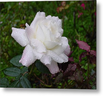 White Rose In Rain Metal Print by Shirley Heyn