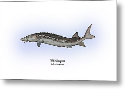 White Sturgeon Metal Print by Ralph Martens