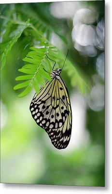 White Tree Nymph Butterfly 2 Metal Print by Marie Hicks