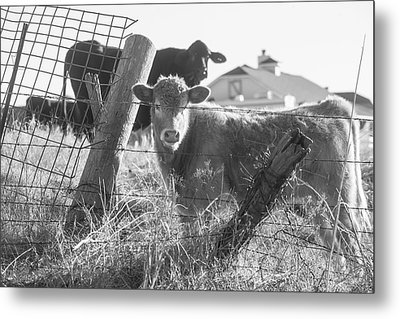Who Are You, Angus Cows Seem To Ask Metal Print by Toni Hopper
