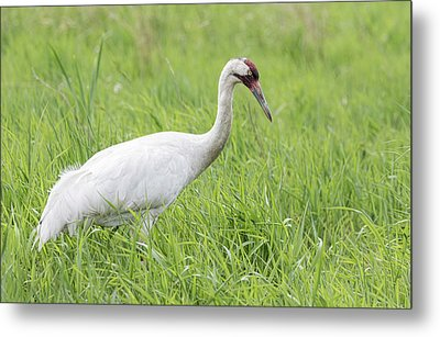 Whooping Crane 2017-3 Metal Print by Thomas Young