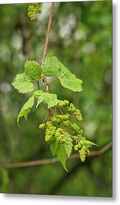 Wild Grapes 1992 Metal Print by Michael Peychich