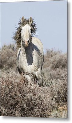 Wild Grey Stallion Runs Close Metal Print by Carol Walker