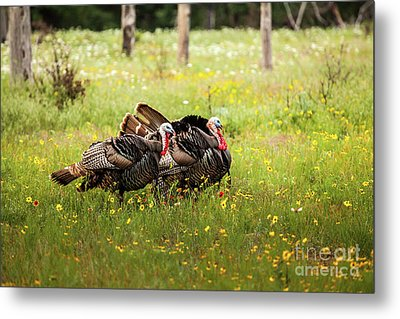 Wild Turkey's Dance Metal Print by Iris Greenwell