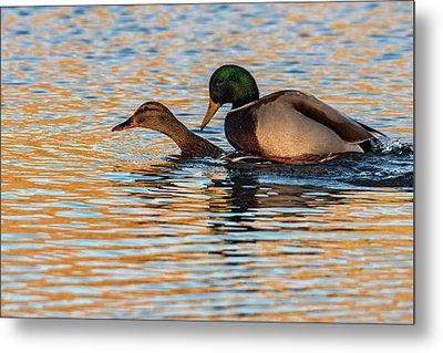 Wildlife Love Ducks  Metal Print