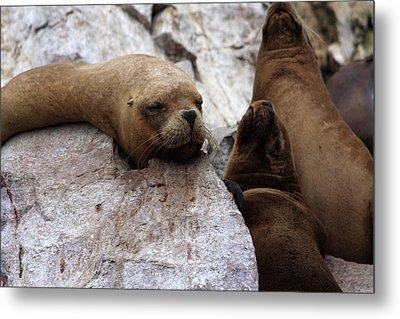 Wildlife Of The Ballestas Islands Metal Print by Aidan Moran
